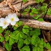 Woodland Beauty