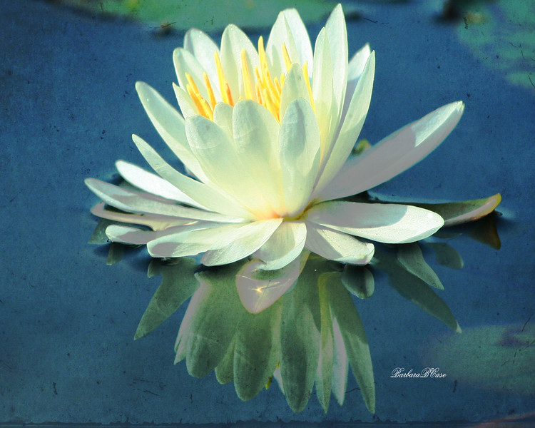 Reflection of a Lily