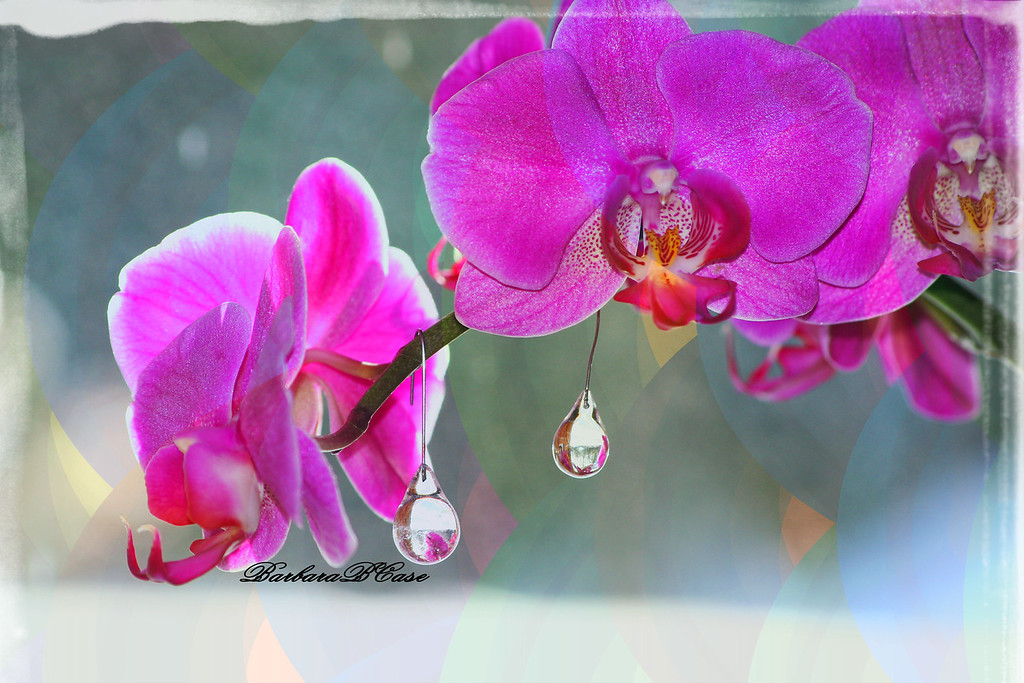 Orchids and the Teardrops