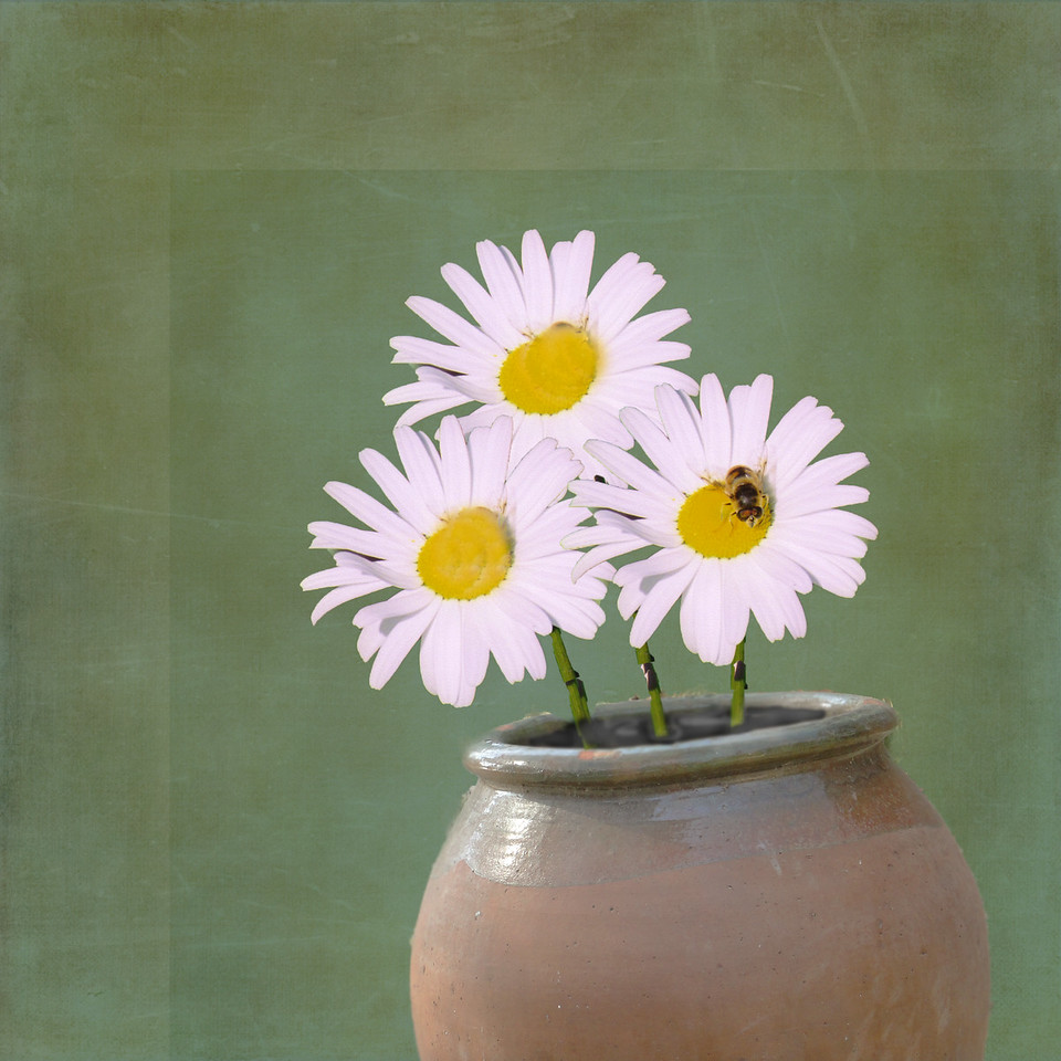 Daisy in the Vase