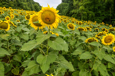 2016 Sunflowers