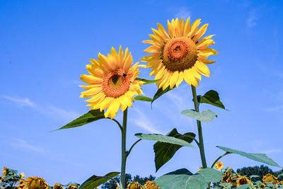2016 Sunflowers