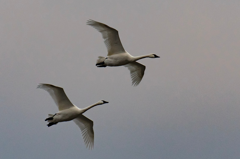 11-11-2018-swans_(2_of_7)