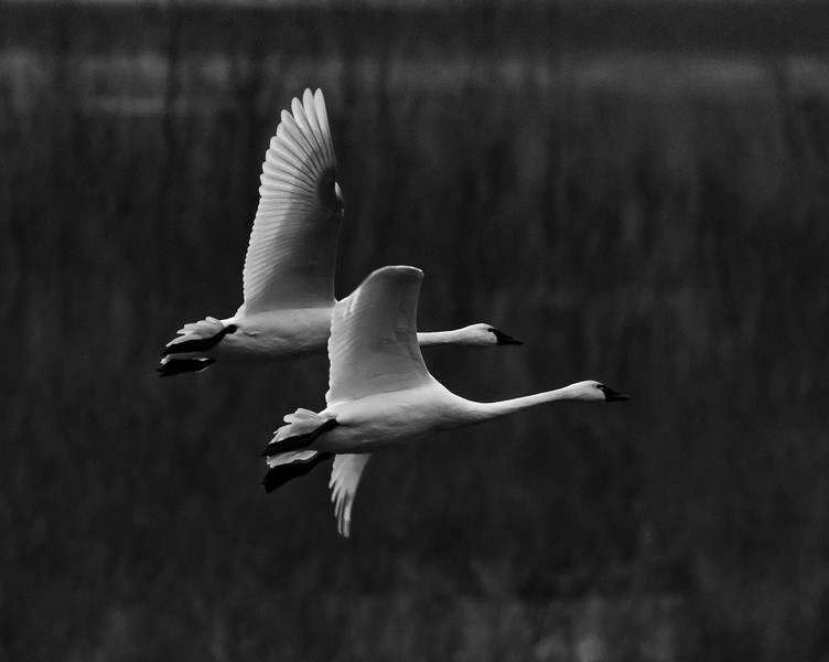 11-11-2018-swans_(7_of_7)