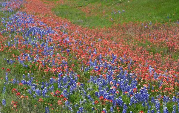 The Hill Country wildflowers were awesome this spring! A wave of blossoms.  From a distance the mixing of these bluebonnets and paintbrush looked violet. So cool! This was the roadside in March about a week before I left for Florida for a month.   March, 2016.
