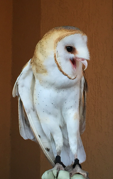 The Whitefish Art Walk was the reason for the visit to town, but what captured most of my attention were 3 rescued birds, including this barn owl.  He was hissing at his guardian as she got too close. Two of them had broken wings and I've forgotten the falcon's problem.   September, 2016.