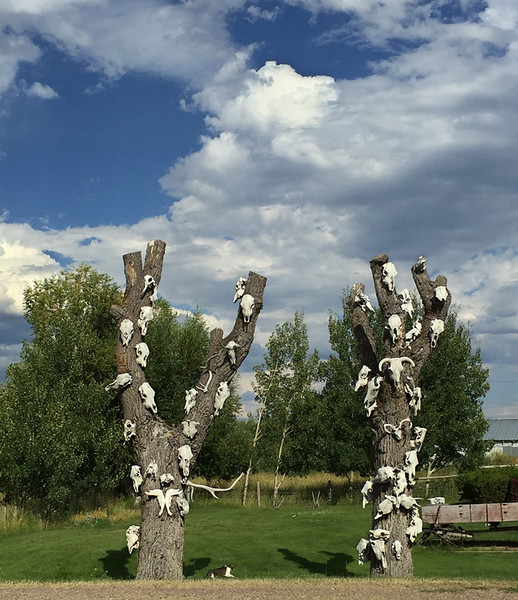 On the way home from Dillon, I passed these skull-trees at the edge of a small town.  Note the cat between the trees.  A bit bizarre.  July, 2016.