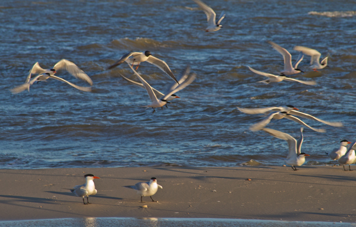 Shelling. . . and photography, of course.  These Royal Terns are fascinating with their bright orange beaks and tiny black toupees.  April, 2016.