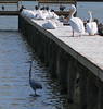 On a very windy day in Rockport, TX the birds were hunkered down on the dock. February, 2009.