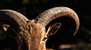 This Aoudad sheep was shot, with camera, on an exotic game ranch west of Hunt, TX and enhanced in Photoshop. Exotic game ranching is big business in the Hill Country. March, 2009.