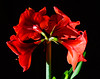 Delores and Jim gifted me with an amaryllis bulb kit. . . and I shot a few hundred frames of it budding, blooming and fading. January, 2010.