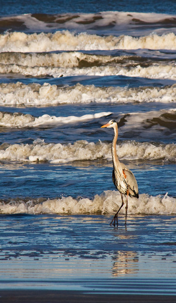 Hearing, watching, and shooting waves is one of my favorite pastimes. Passing cars chased this Great Blue Heron off the beach, and the incoming waves chased me off the same beach before I got stuck there for hours. February, 2010.