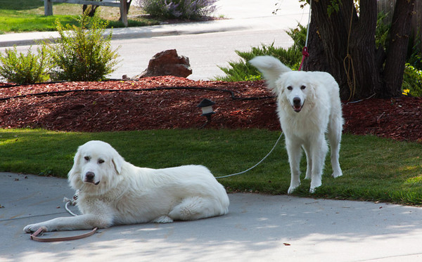 Kathleen and Glenn's Great Pyrenees (Max and Sophie) greeted me on arrival in Cheyenne.  With a lot of help the Cloud (RV) was able to park in their small drive.  A new challenge. . . met!   September, 2012.