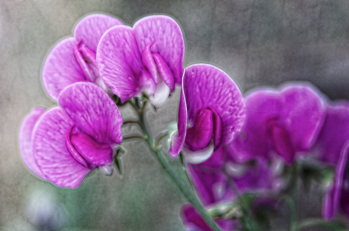 While shooting on the way to Denver---THE CAMERA BROKE!!!  Very luckily, it was repaired in 2 days in Denver and I was shooting again.  To check it I shot these sweet peas near the campground and then filtered and composited the image. July, 2013.