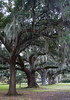I love these huge, old Live Oaks dressed in Spanish Moss.  December, 2013.
