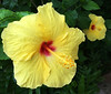 Ah-h-h-h, Kauai!  Paradise it is.  The yellow hibiscus is the state flower of Hawaii since 1989. However, there are many varieties of hibiscus on Kauai. Barbara H. and I met there for a week and what a pleasure the island was.    November, 2015.