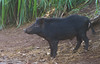 Near Wailua Falls this young wild pig was hanging out with a guy who fed him frequently. The man said that in a few months the pig would grow his tusks and may not be as friendly.   November, 2015.
