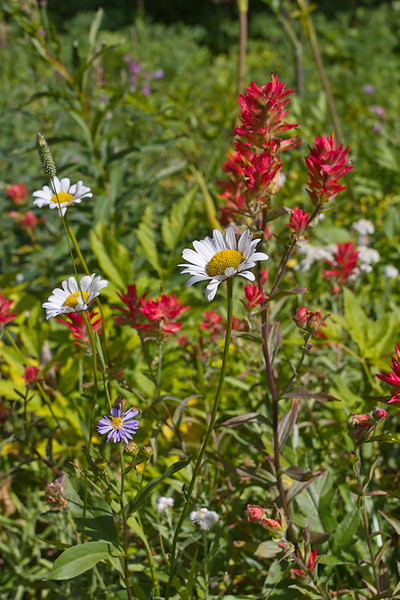 Along the road to Cameron Lake the wildflowers gave a colorful greeting. There were some of the same ones blooming in April in Texas.   July, 2015.