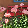 The pink poppies of Taos!  May, 2017