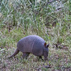 May 20th and time to leave JCRVR for the summer.  I stayed a couple of nights at South Llano River SP where this armadillo came grubbing by the Terra Cloud one evening. Strange, ancient animals they are. May, 2017.