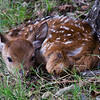 Word got around that an axis deer had dropped in the orchard.  When the fawn is born the mother leaves it for around 24 hours and returns  when it's strong enough to stay with the herd.  You can see this one is not very well hidden, but as it was approached nothing moved but it's ears and eyes.  Delightful!  October, 2017.
