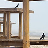 Great-tailed Grackles, too, were on the beach sharing the shelters with me.  Mostly, I just enjoyed the geometric shapes.  February, 2017.
