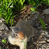 This ground squirrel at Logan Pass was certainly more interested in its dinner of grass than the nearby camera.  July, 2017.