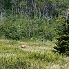 This Grizzly was probably a quarter mile away, but thanks to a medium telephoto lens, some serious cropping, and sharpening it's obvious it's digging for its dinner.  July, 2018.