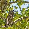 Speaking of trees, on my fall migration south I laid over in Missoula a week because it was warmer than my summer home, AND. . . I really like that town!  This Great Horned Owl was spending its day across from my site at Jim and Mary's RV Park. Thanks to Virginia pointing it out, I was able to get a few shots of it.  September, 2018.