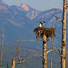 The osprey of Hungry Horse Lake will probably be leaving the nest soon. Over the Labor Day weekend I saw only the two juveniles and this one had just chased the other one away from the food they had.  They are really beautiful birds. September, 2018.