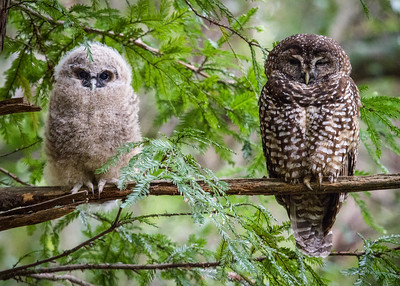 Spotted Owl and Owlet