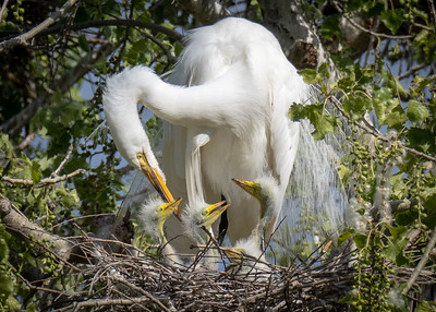 Egret Family, Gray Lodge, Gridley CA