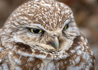 Burrowing Owl, Tehema County CA