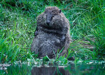 Beaver, Big Chico Creek, Chco CA