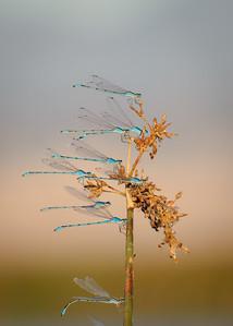 Bluet Damselflies, Sacramento Wildlife Refuge, Willows, CA