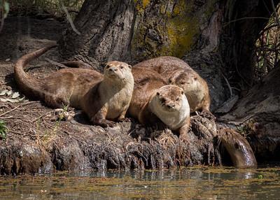 Otter Pups, Durham CA