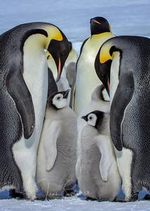 Emperor Penguins, Snow Hill, Antarctica