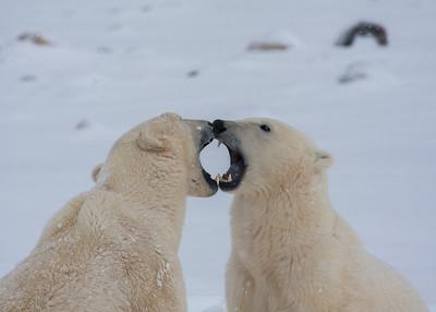 Young Polar Bears, Churchill, Manitoba, Canada