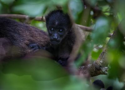 Baby Howler Monkey, Costa Rica