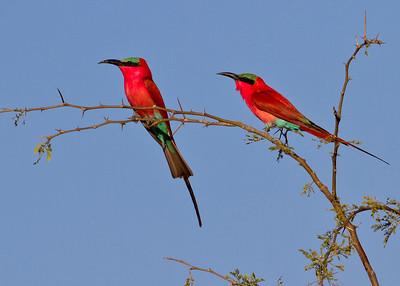 Carmine Bee-eaters, Zambia, Africa