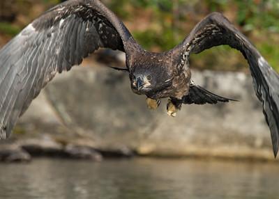 Youg Bald Eagle learns to fly, Flathead Lake, Montana