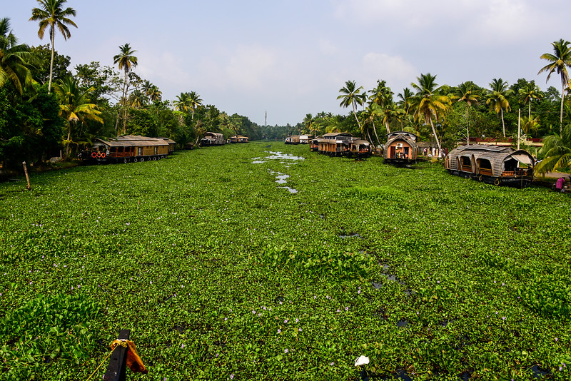 Kumarakom - the start of our backwater cruise through lotus flowers on the canals