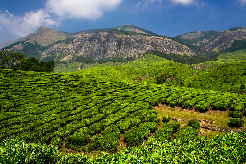 Munnar - WOW! the tea plantations are stunning