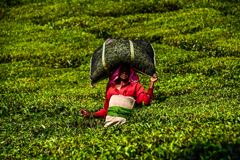 Munnar - delivering the freshly cut tea