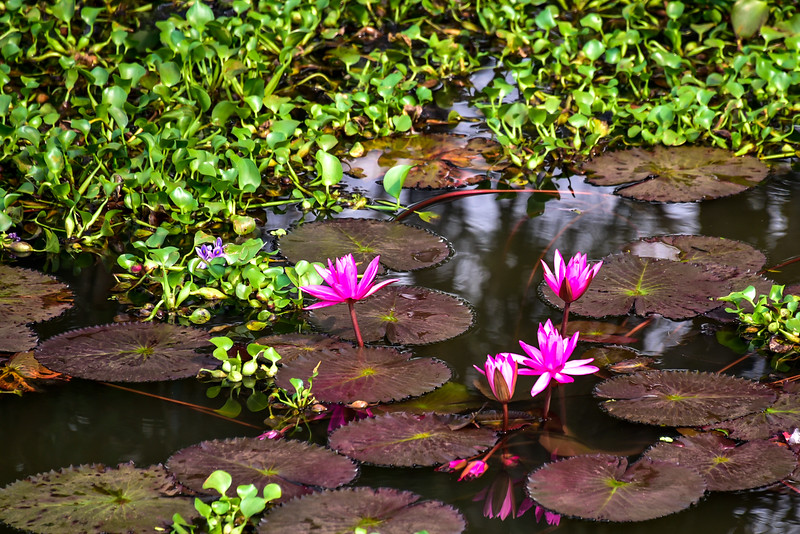 Kumarakom - beautiful lotus flowers