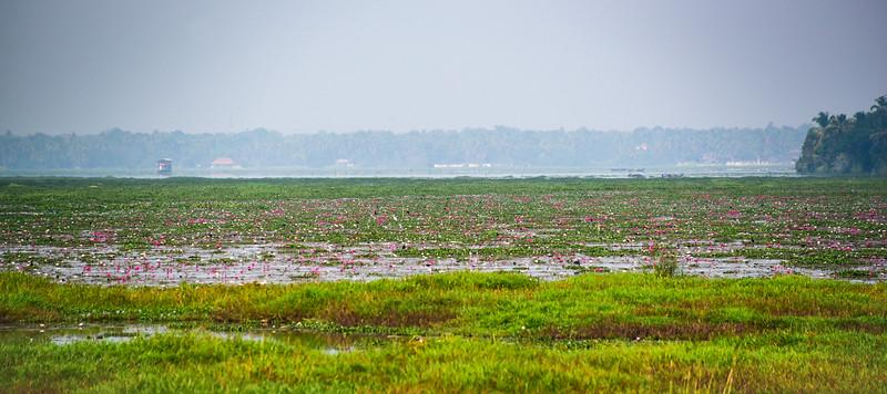 Kumarakom - a sea of lotus flowers on the backwaters