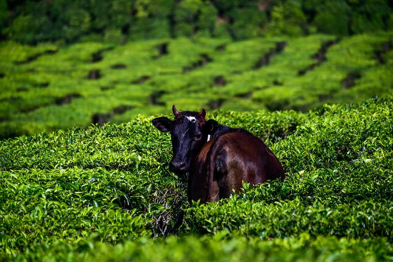 Munnar - a typical guest at a tea plantation