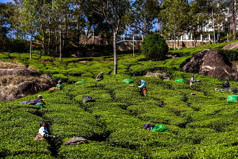 Munnar, lady workers trimming the Tea leaves
