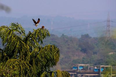 Goa - looks like an eagle to me