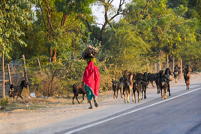 goats and woman carrying wood on her head, walking the highway